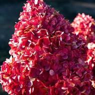 Гортензия метельчатая Hydrangea paniculata Pink and Rose