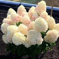 Гортензия метельчатая Hydrangea paniculata Sugar Rush