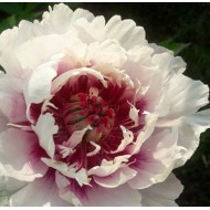 Paeonia Itoh Rosy Prospects