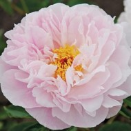 Пион Paeonia Orchid Annie