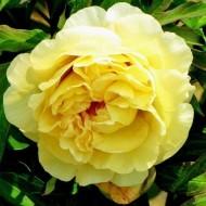 Paeonia Itoh Yellow Waterlily