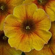Петуния Beutycal Caramel Yellow