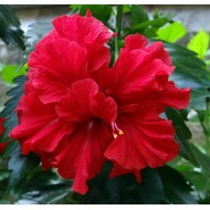 Гибискус Hibiscus Double Red