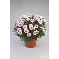Гвоздика Dianthus Rumba