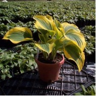 Хоста Hosta Forest Fire
