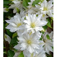 Клематис Clematis First Love