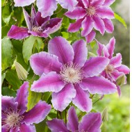 Клематис Clematis Dr.Ruppel