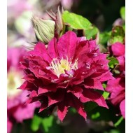 Клематис Clematis Red Star