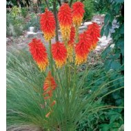 Книфофия Kniphofia Papaya Popsicle