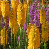Книфофия Kniphofia Lemon Popsicle