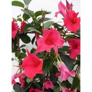 Диплодения Sundaville Pink