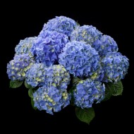 Гортензия Hydrangea EARLY BLUE