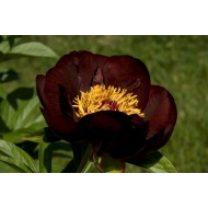 Пион Paeonia Chocolate Soldier