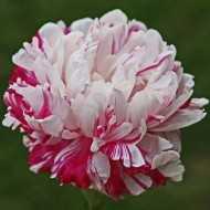Пион Paeonia Candy Stripe