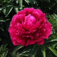 Пион Paeonia Red Magic