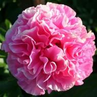 Пион Paeonia Carnation Bouquet