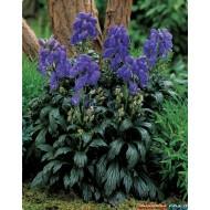 Аконит Aconitum fischeri