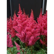 Астильба Astilbe Mighty Red Quin