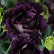 Эустома Eustoma Echo Purple