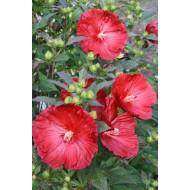 Гибискус Hibiscus Cranberry Crush