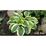 Хоста Hosta Wide Brim