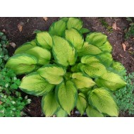 Хоста Hosta Inniswood