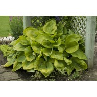 Хоста Hosta Sun and Substance