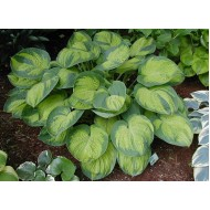 Хоста Hosta Dick Ward