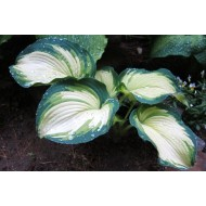 Хоста Hosta Eskimo Pie