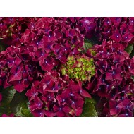 Гортензия Hydrangea Royal Red Lila