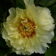 Paeonia Itoh Yellow heaven