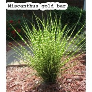Мискантус Miscanthus 'Gold Bar'