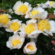 Пион Paeonia Moon of Nippon
