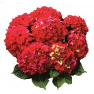 Гортензия Hydrangea RED BEAUTY