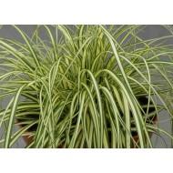 Карекс Carex oschimensis Maxigold