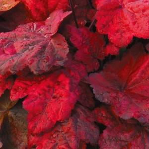 Гейхера Heuchera Autumn Leaves