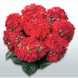 Гортензия Hydrangea HOT RED