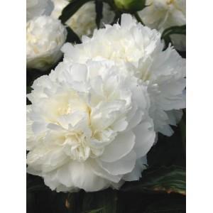 Пион Paeonia Shirley Temple