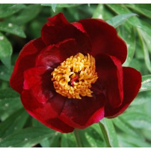 Пион Paeonia Early Scout