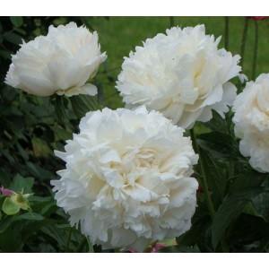 Пион Paeonia Kelway's Glorious