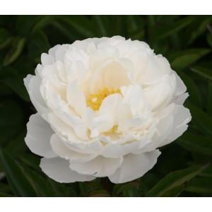 Пион Paonia Gardenia