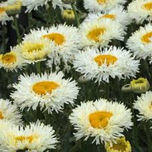 Ромашка Leucanthemum Real Galaxy