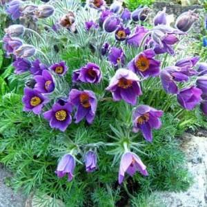 Сон-трава Pulsatilla Violet Bells