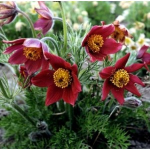 Сон-трава Pulsatilla Red Bells