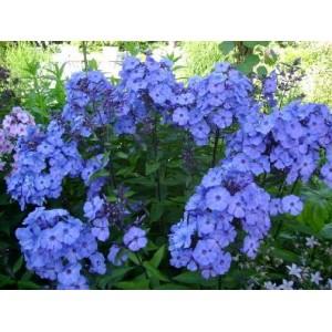Флокс Phlox Blue Paradise