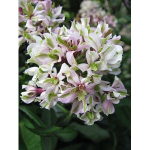 Флокс Phlox Pure Feelings