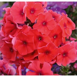 Флокс Phlox Adessa Orange