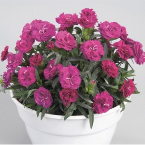 Гвоздика Dianthus Roselly