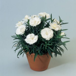 Гвоздика Dianthus Roselly White