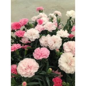 Гвоздика Dianthus Pink to White